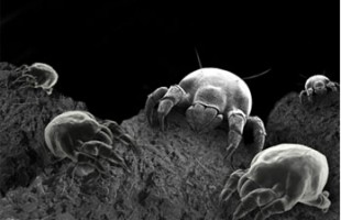 Dust Mites Treatment Is Crucial In Preventing Allergies
